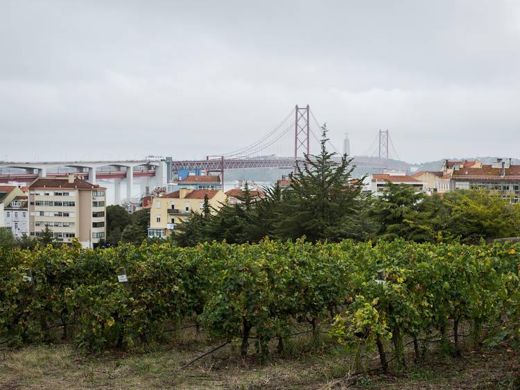 Lisboa, vindimar em plena cidade