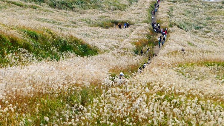Pampas grass fields