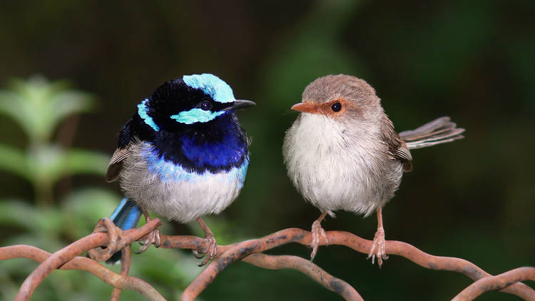 A male and female of the Superb Fairy-wren species.
