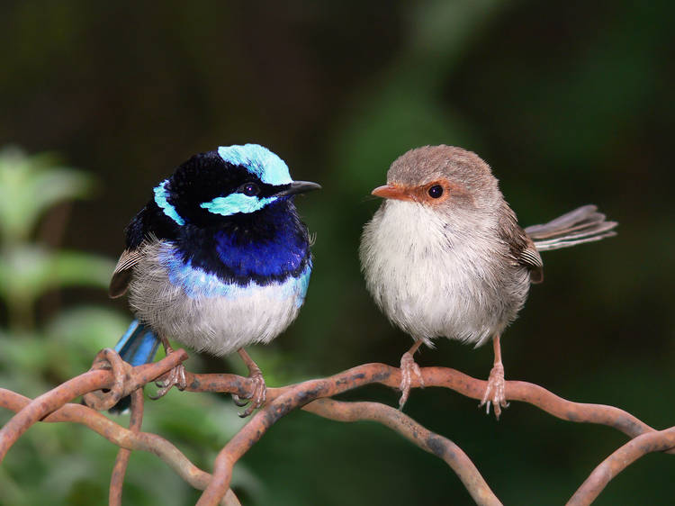 Look out for the Superb Fairy-wren this spring