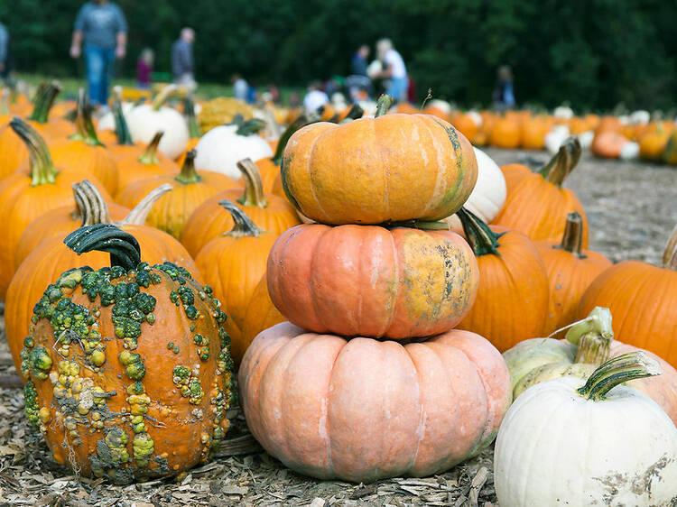Where to go pumpkin picking near Boston