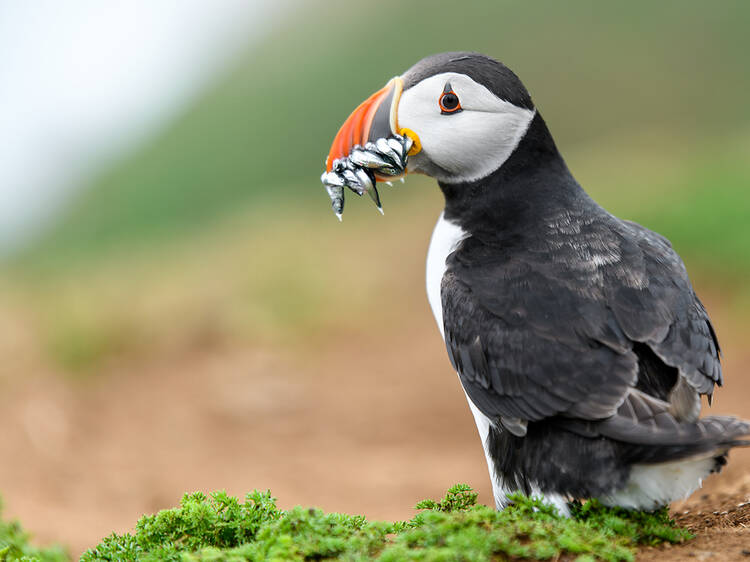 Spot puffins, seals and dolphins in Wales