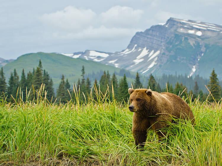 Photograph brown bears in Alaska