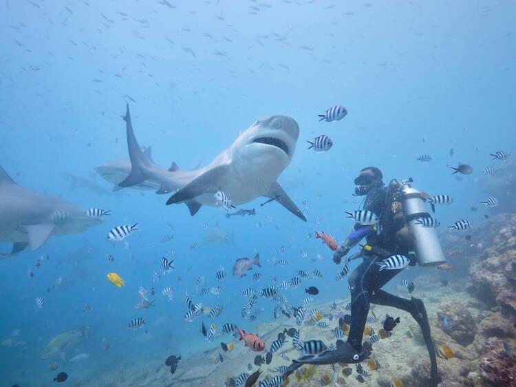 Dive with bull sharks in Fiji