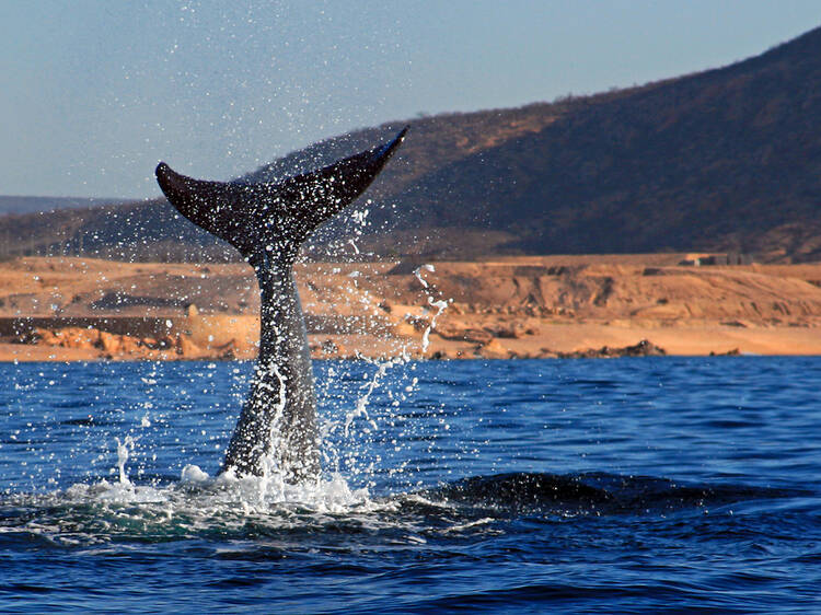 Get up close to grey whales in Baja California