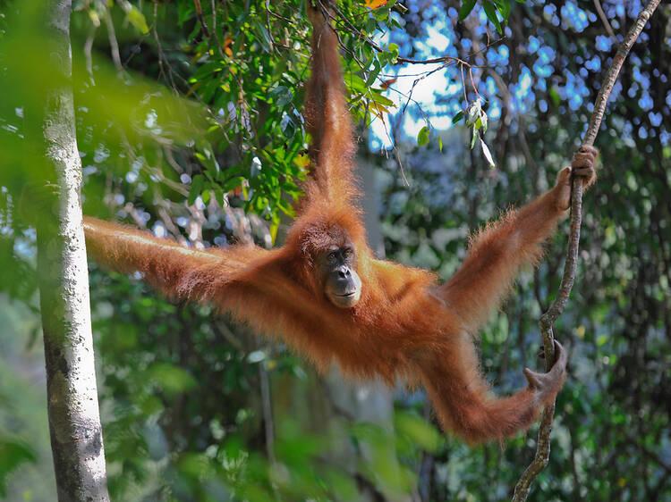 Meet the endangered Sumatran orang-utan