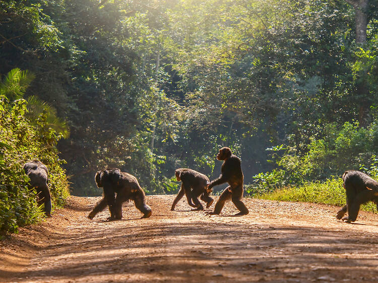 Go in search of chimpanzees in Uganda