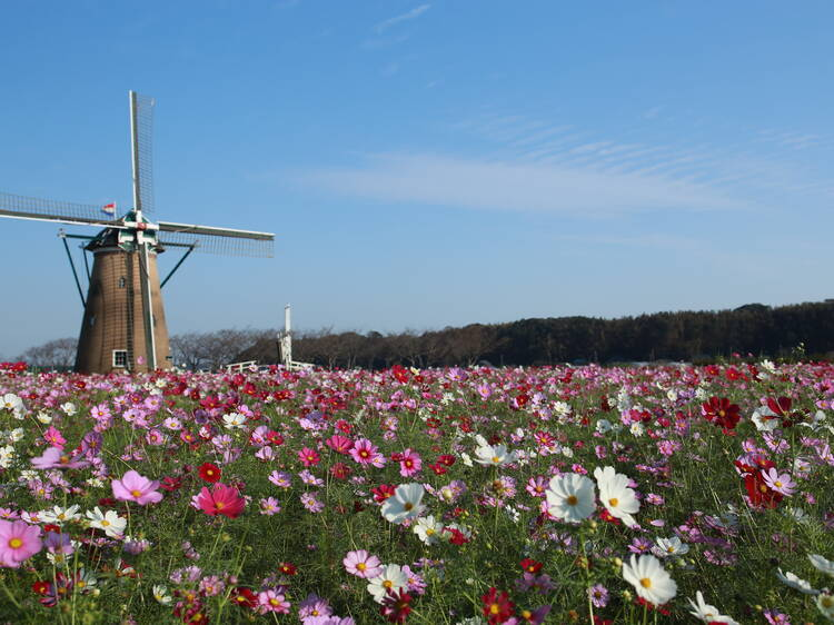 500,000 colourful cosmos are now blooming at Sakura Furusato Square in Chiba