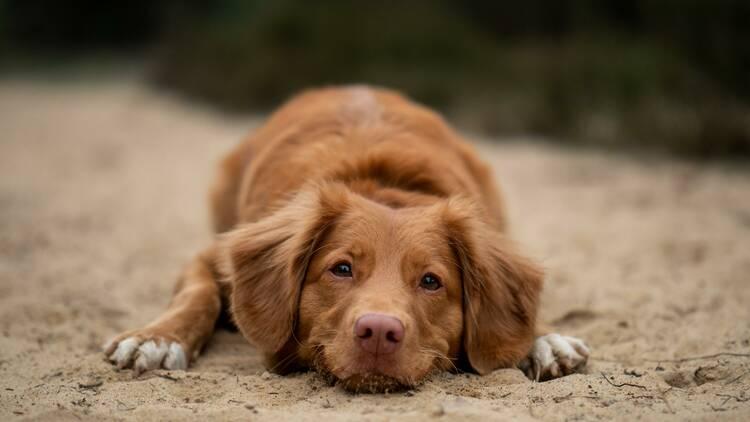 cão castanho deitado na areia