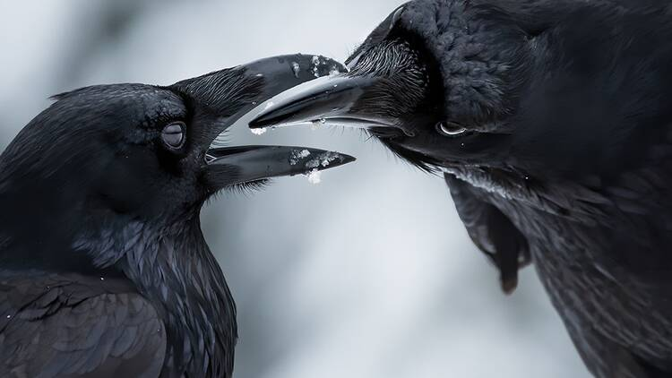 Crows courting