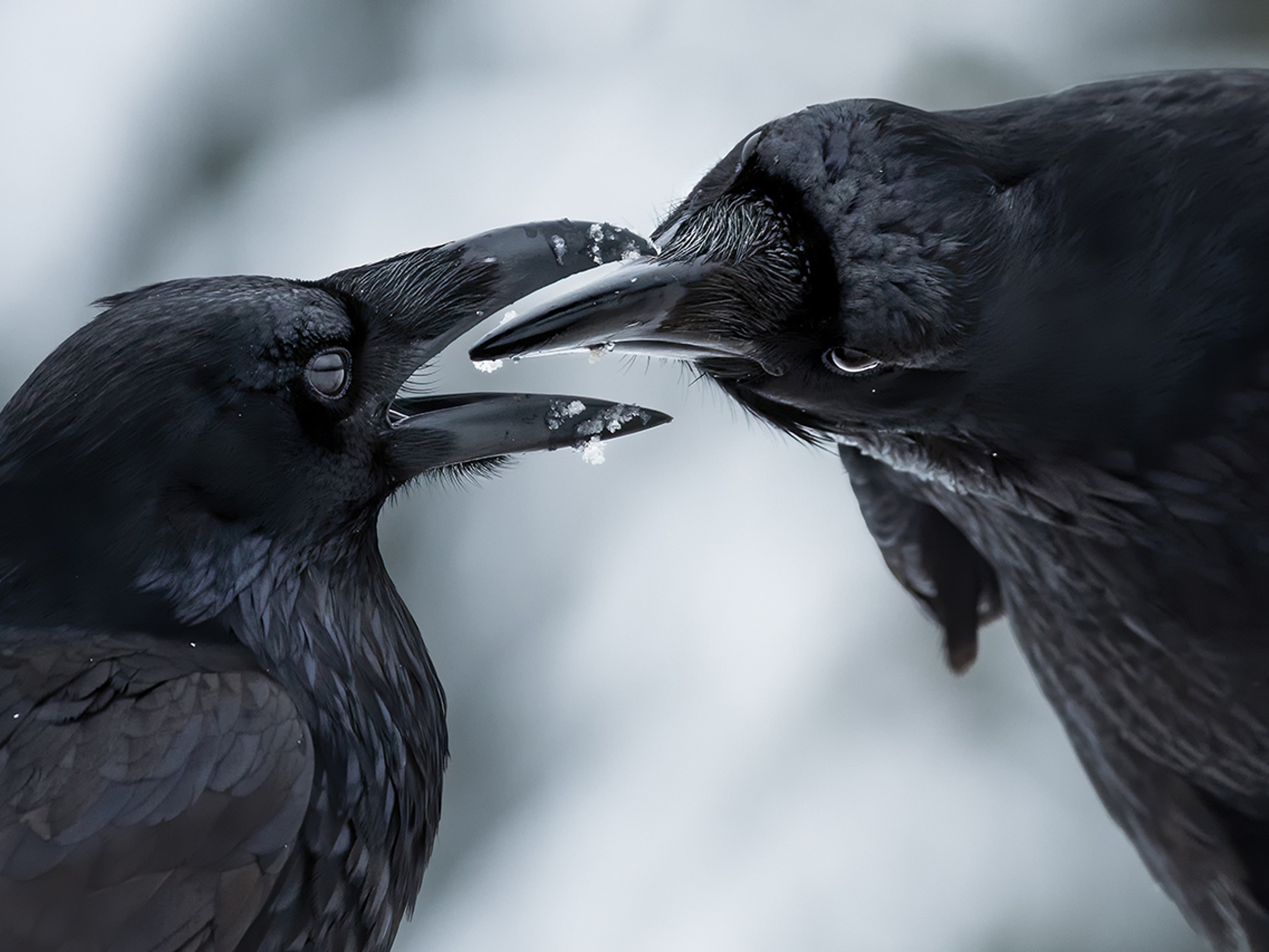 These kissing ravens are among the winning shots at Wildlife Photographer of the Year
