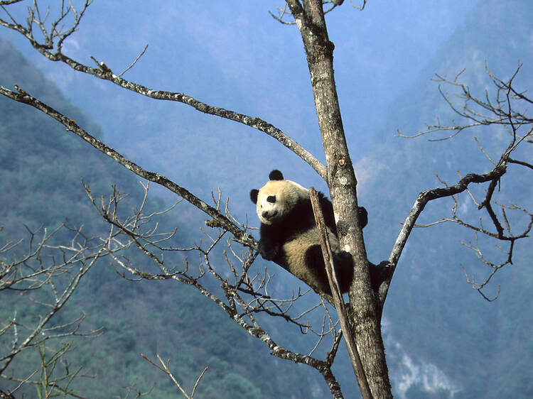China is creating a brand-new national park to protect giant pandas
