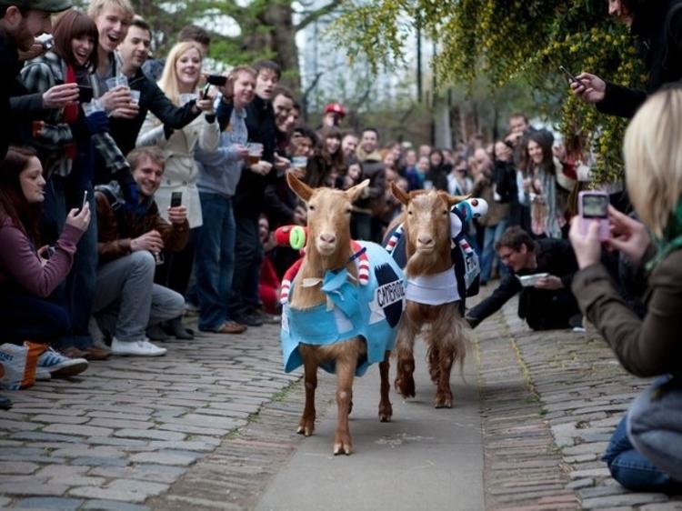 The Goat Race