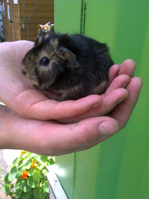 guinea pig baby.jpg