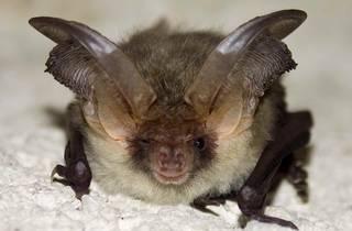 Big Bat Walks