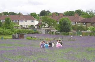 Carshalton Lavender Community Harvest