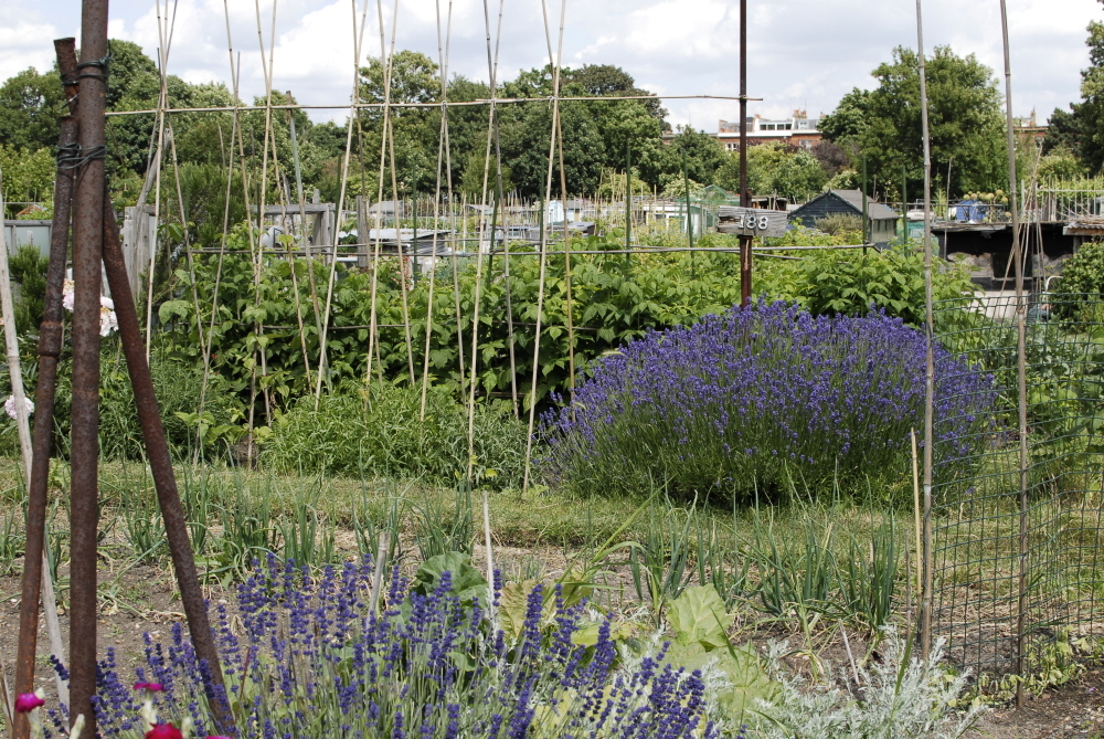 Fulham Palace Allotments 8.JPG.JPG