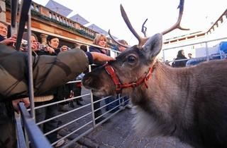 Reindeer Petting in Covent Garden