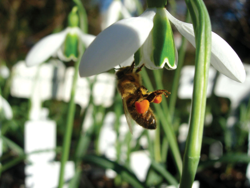 Snowdrop Days at Chelsea Physic Garden