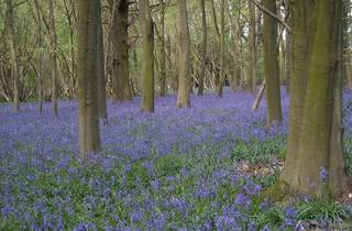 Guided Bluebell Walks