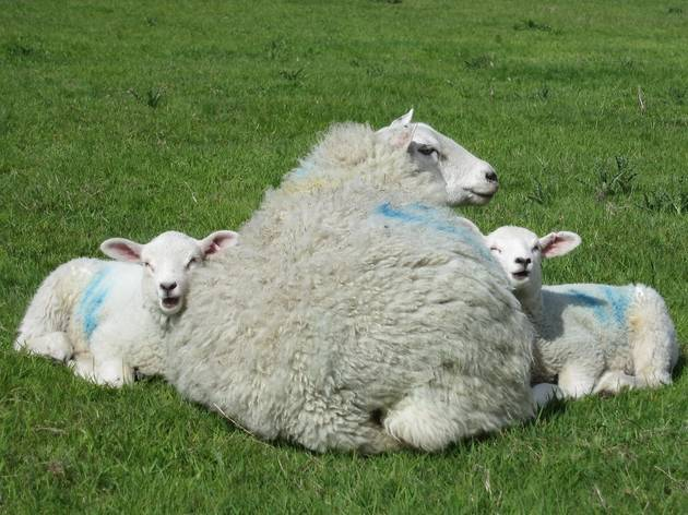 Lleyn ewe and twin lambs.jpg