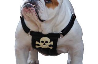 cyril bulldog in pirate harness Holly & Lil.jpg
