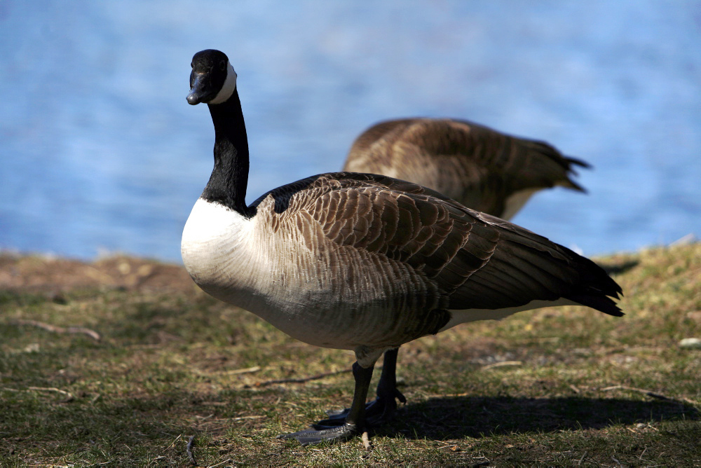 Canada goose at the park