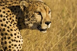 Cheetah Face_Adam Chapman.jpg
